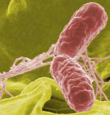 living in well being typhoid bacteria