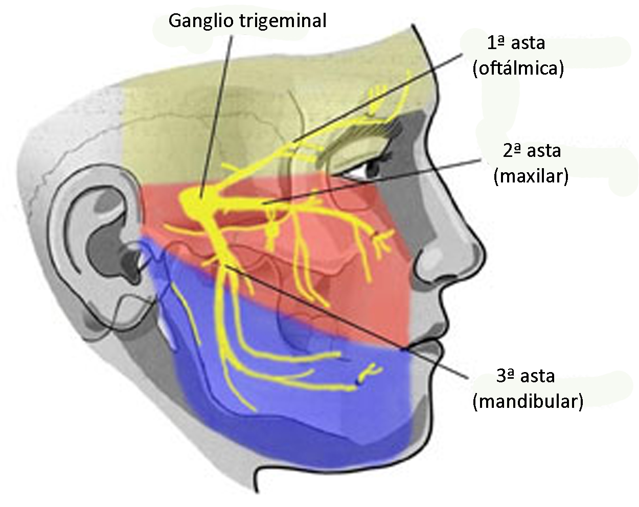 living in well being iamge showing the part of the face in which neuralgias occur