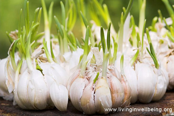Reduce Your Weight By Using Garlic